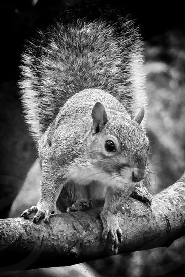 Squirrel in Central ParkNew Yorkbwanimal photo