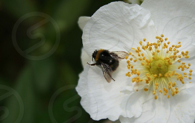 black and yellow bee on white flower photo