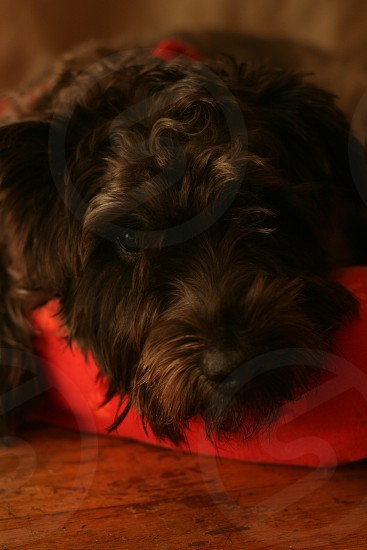 black havanese photo
