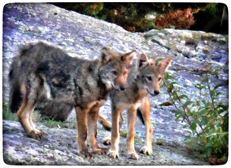 Coyote pups photo