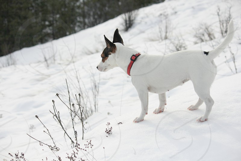 Small dog a Jack Russell Terrier standing on the hardened crust of the snow on a cold winter day. photo