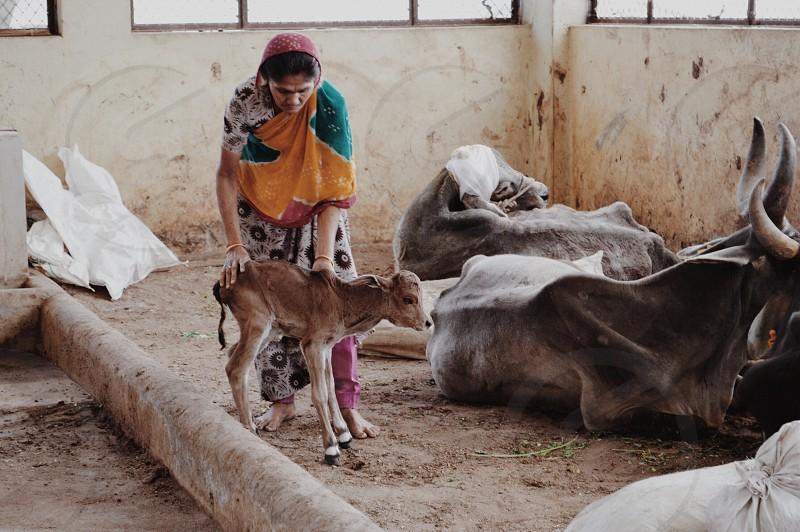Birth of a calf animal refuge center in Gujarat India photo