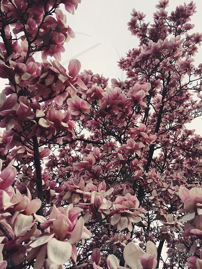 dogwood tree in bloom photo