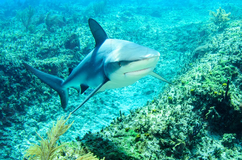 A Caribbean reef shark approaching the camera. photo