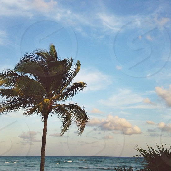 coconut palm tree photo