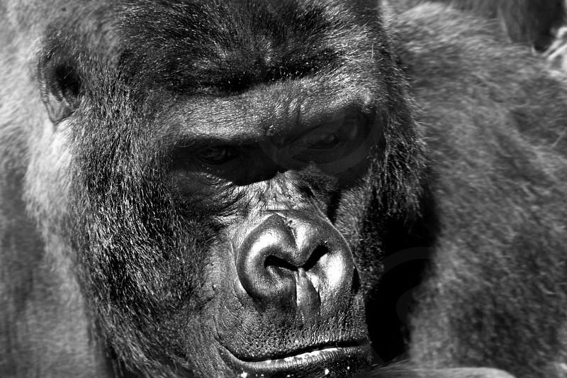 Gorilla Port Lympne Kent jungle zoo primate  photo