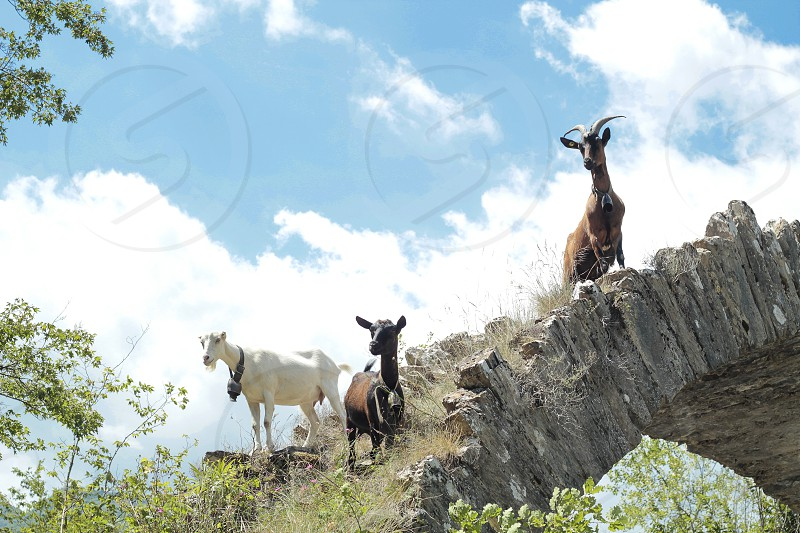 Goats grazing in the Ligurian Mountains photo