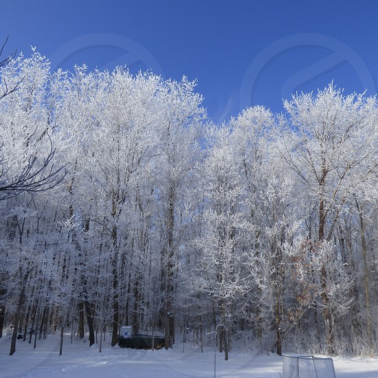 Snow covered trees blue skies winter woods photo