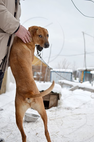 Chained red haired watchdog standing beside a man on his hind legs looking back at camera in rural surroundings  photo