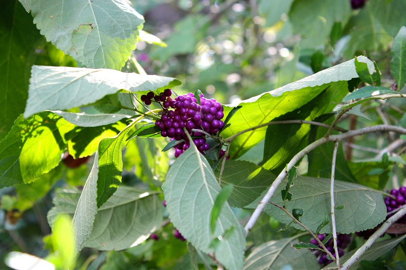 purple berries nature plant forest photo