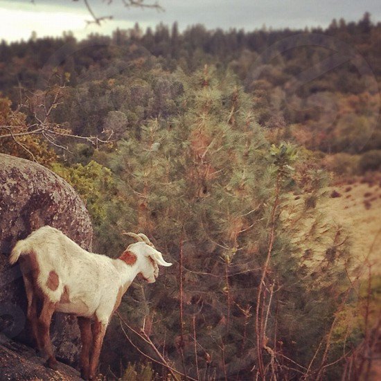 goat and trees view photo