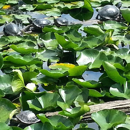 Turtles turtles  and more turtles  at Juanita Bay Park Wetlands. photo