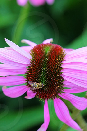 black and yellow bee on red green and pink plant photo