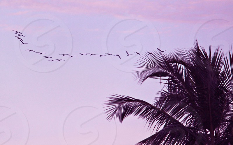 flock of birds flying in the sky photo