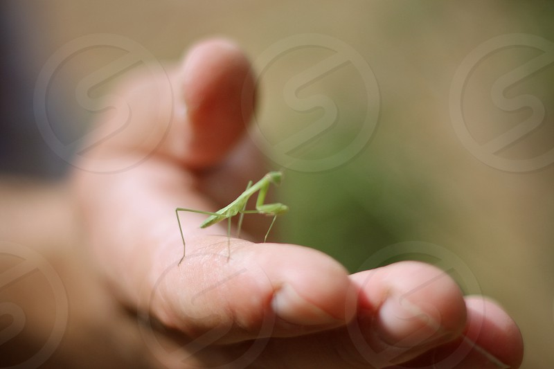 tiny insect young baby praying mantis hand  green nature photo