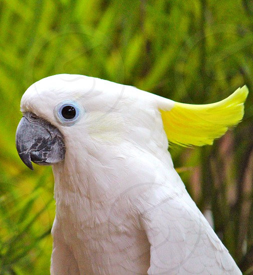 white crested cockatoo photo