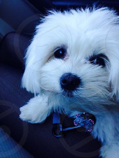 white maltese puppy photo