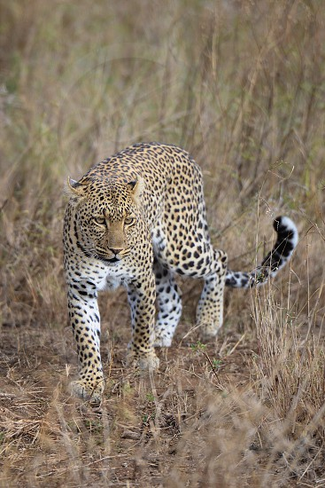 Wild leopard in Tanzania photo