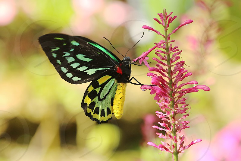Birdwing butterfly butterfly colorful spring flowers nature insect pink yellow green  photo