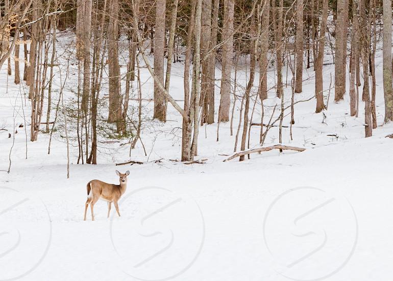 doe in a field of snow photo