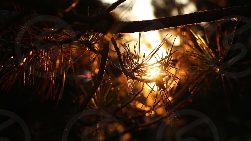 Through the Pine photo