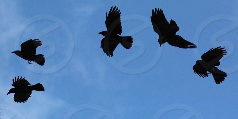wild crows photo