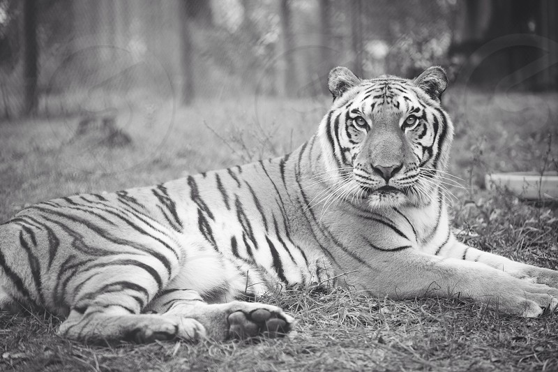 tiger on field  on grayscale view photo