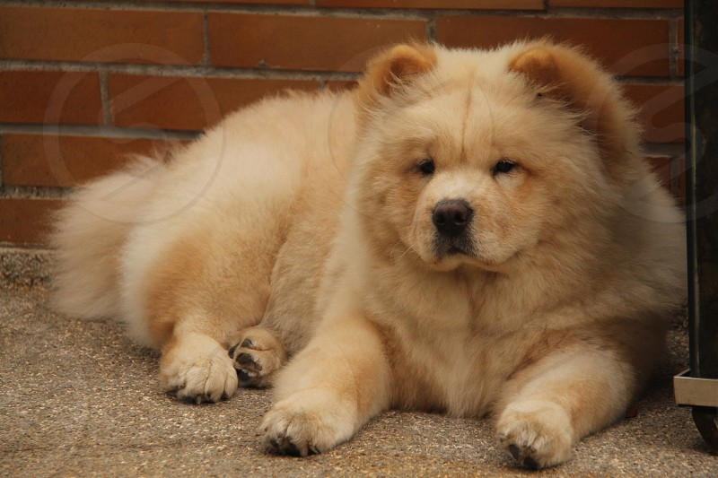 white chowchow photo