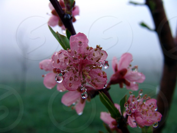 Peach bloom morning dew and the fog photo