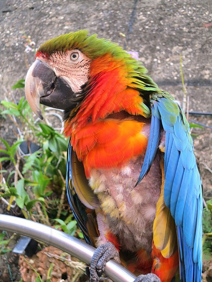 Parrot Old San Juan Puerto Rico photo