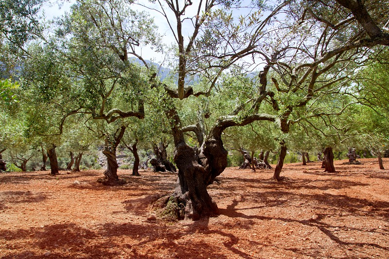Olive trees from Majorca with red clay soil from Balearic islands in Spain photo