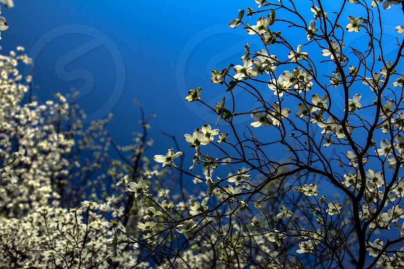 blue sky spring colorful flowers blooms blossum dogwood tree photo