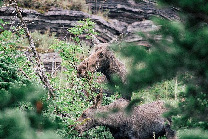 2 gray animals standing in green trees near gray rocks photo