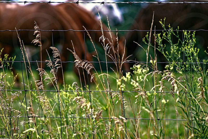 Alfalfa grass is in the foreground and a blurred image of horses grazing in a field is in the background. photo