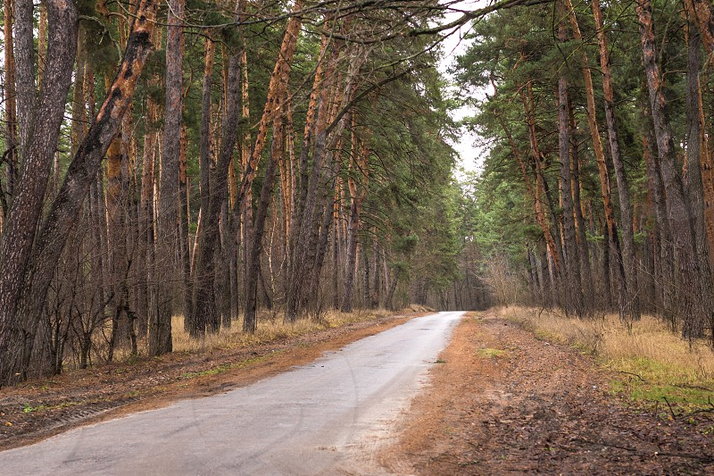 Beautiful abandoned road in a green pine forest photo
