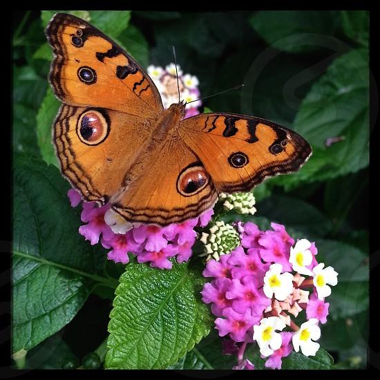 Peacock Pansy butterfly Butterfly Wonderland Scottsdale AZ photo