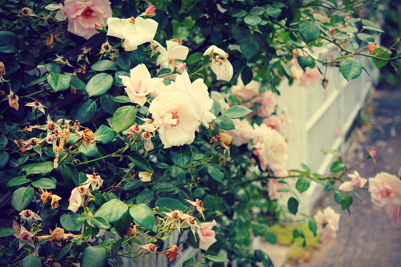 Pink summer roses on vintage country cottage white picket fence. photo