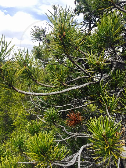 Colorado spring pine tree sun mountains photo