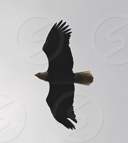 Eagle flying over me :)  photo