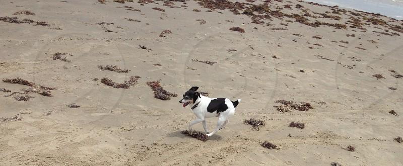 white and black dog running on sandy plains during daytime photo
