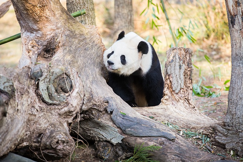 Panda bear curiously peaking around a tree in a forest photo