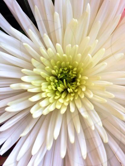 white daisy flower photo
