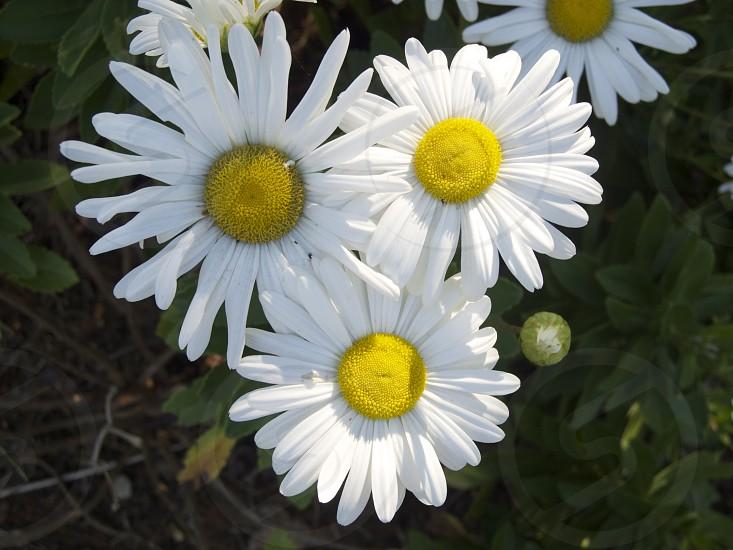 white daisies flower photo