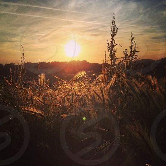Golden sunset field California  photo