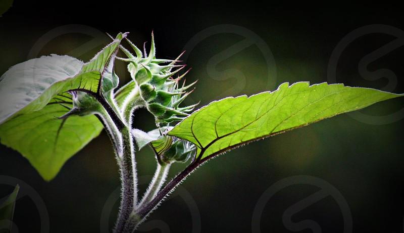 #Flowers#Nature #Sunflower #Flower Buds # Sommer photo