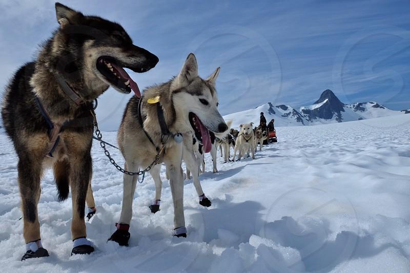 Alaska dog sledding Alaskan dog sledding glacier Norris Glacier photo