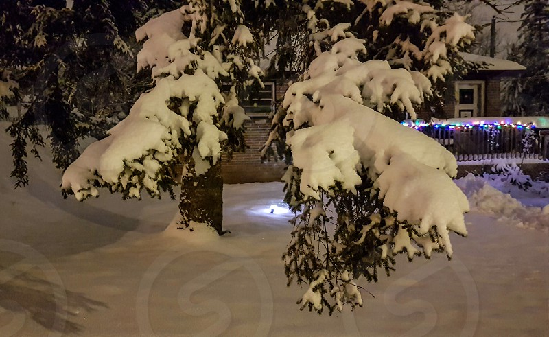 pine branches drooping under the weight of the snow with Christmas lights in the background photo