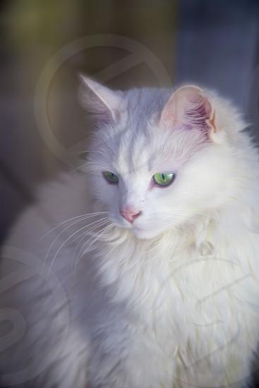 Beautiful white fluffy kitty photo