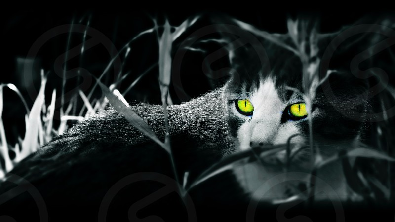 Scary looking green eye Cat in overgrown grass. Black and White creepy kitty during Halloween. photo
