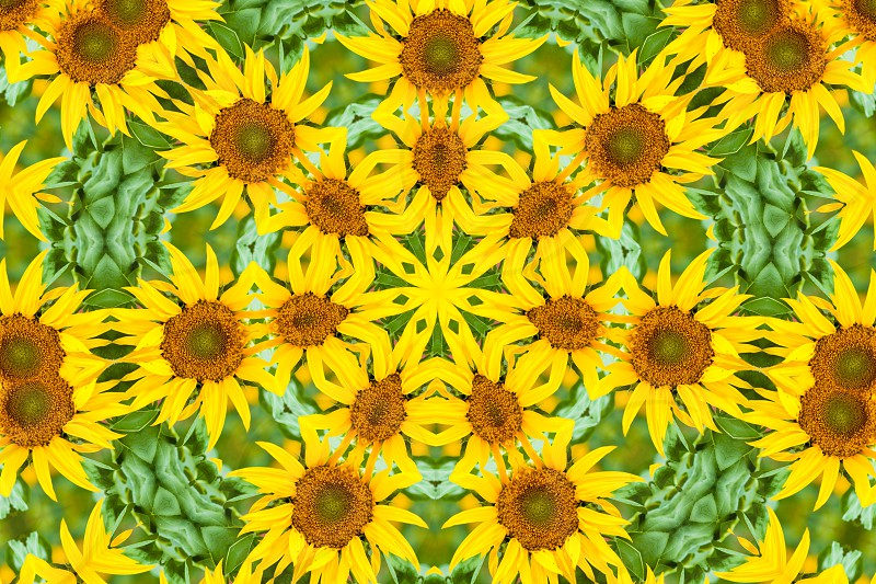 Kaleidoscopic altered image of sunflower Helianthus annuus resembles a mandala photo